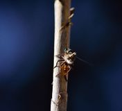 Robber fly on cane stalk. With a small prey and dark blue background Royalty Free Stock Photography