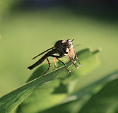 Robber fly. Close up of robber fly with prey Stock Image