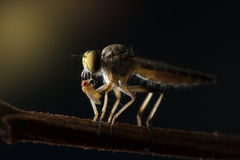 The Robber fly close up in Thailand. The Robber fly close up in Thailand and Southeast Asia Stock Image