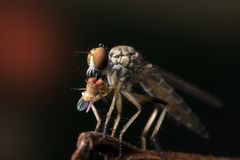 The Robber fly close up in Thailand. The Robber fly close up in Thailand and Southeast Asia Royalty Free Stock Photo