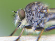 Robber fly closeup macrophotography Royalty Free Stock Image