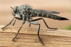 Robber fly closeup. Robberflies are predators, and feed on smaller flies and insects royalty free stock images