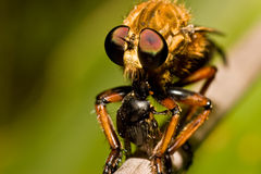 Robber fly eating a beetle Stock Image
