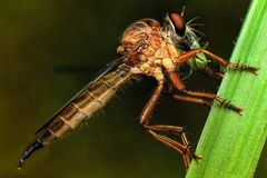 Robber Fly Eating. A picture of a robberfly having breakfast Stock Image