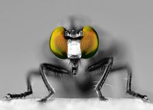 Robber Fly Eyes Royalty Free Stock Photography