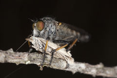 Robber fly feeding on captured moth Royalty Free Stock Photography