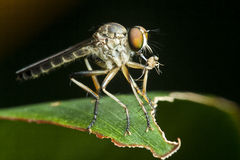 Robber fly with food. A Robber fly found in a park having its prey Royalty Free Stock Image
