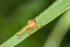 Robber fly on green leaf Royalty Free Stock Images