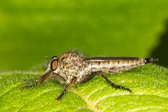 Robber fly on a green leaf macro photography Royalty Free Stock Photography