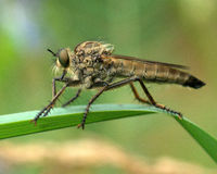 Robber fly in the green 3 Stock Photos