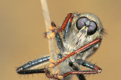 Robber fly. The head close-up of robber fly Royalty Free Stock Photos