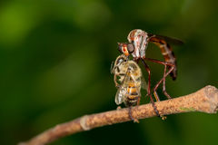 Robber Fly with a Honey Bee Catch Royalty Free Stock Images