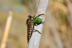 Robber fly hunting a green bug Royalty Free Stock Images