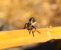 Robber fly hunting a small bee under its claws. Robber fly hunting a bee Royalty Free Stock Images