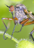 Robber fly insect Royalty Free Stock Images