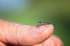Robber fly, insect in my hand resting Stock Photography