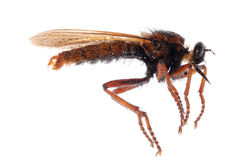 Robber fly isolated Royalty Free Stock Photos