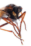 Robber fly isolated Stock Photo