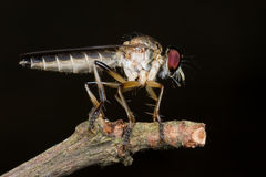 A robber fly on its perch Royalty Free Stock Image