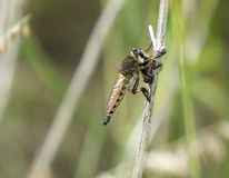 Robber Fly Killing Honey Bee Royalty Free Stock Image