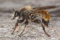 Robber fly (Laphria flava) Royalty Free Stock Photo