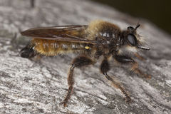 Robber fly (Laphria flava) Royalty Free Stock Images