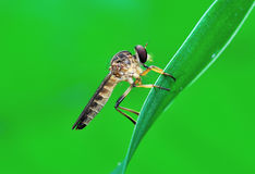 Robber fly on the leaf. Beautiful gray robber fly resting on the leaf stock photos