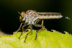 Robber fly on a leaf. Robber fly assassin fly on a leaf Royalty Free Stock Images