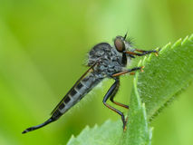 Robber Fly On Leaf. Closeup of a Robber Fly on a green leaf Stock Photo