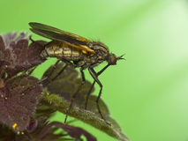 Robber Fly on  leaf Stock Photo