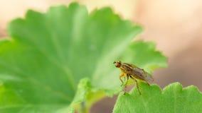 Robber Fly on leaf Stock Photos