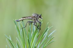 Fly. Robber fly Machimus sp. sitting on the twig of pine. Close up Stock Images