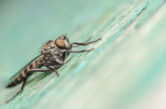 Robber Fly Macro Stock Photos