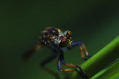 Robber fly Stock Images
