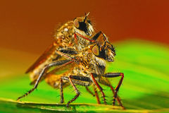Robber fly. Mating of robber fly (Asilidae), Machimus sp. and natural background Royalty Free Stock Photo