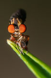 Robber Fly with a Meal. Robber Fly eating another small insect while perched on a green leaf Stock Image