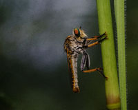 Robber fly night macro photography. A bug on a flower at night during the rain Stock Photos