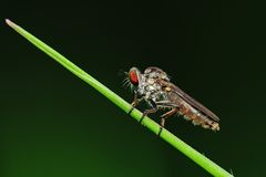 Robber fly in the park Royalty Free Stock Photography