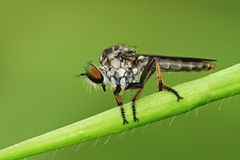 Robber fly in the park. S Stock Image