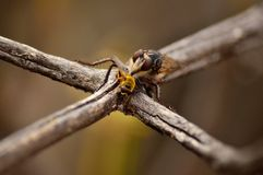 Robber fly with small bee Royalty Free Stock Photography