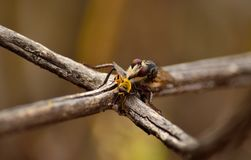 Robber fly and bee. Robber fly perched on branch with small bee under its stinger Royalty Free Stock Images