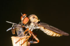 Robber Fly Perched with a meal. Robber Fly eating another tiny insect Royalty Free Stock Images