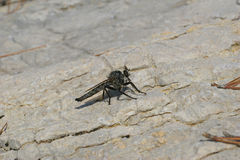Pirate fly Stock Images