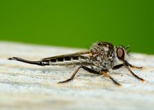 Robber Fly Royalty Free Stock Photo