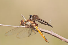 Robber fly with prey Stock Image