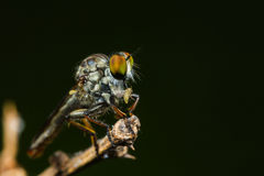 Robber fly with prey Royalty Free Stock Photography