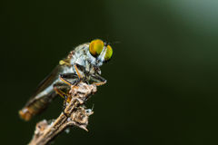 Robber fly with prey Stock Images