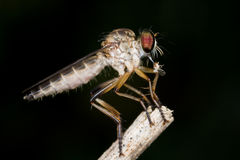 A robber fly with prey - a plant hopper Royalty Free Stock Images