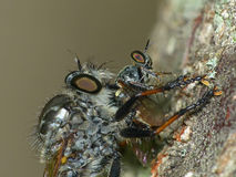 Robber Fly Preys on a Gnat Ogre. Closeup of a Robber Fly preying on a Gnat Ogre Royalty Free Stock Photo