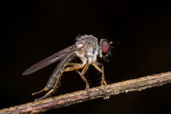 A robber fly with rain drops/ dew drops Royalty Free Stock Photo